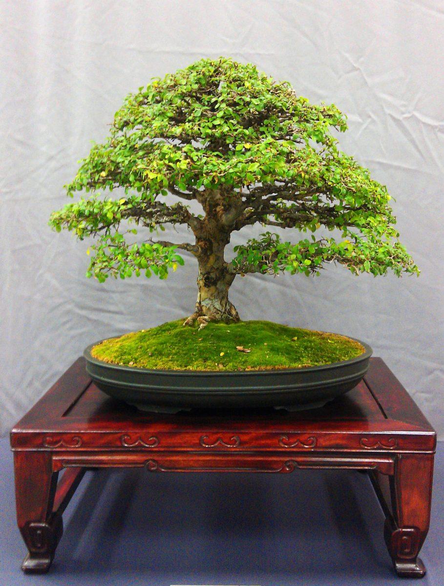 Bonsai Style Inspiration Ficus Macrophylla Moreton Bay