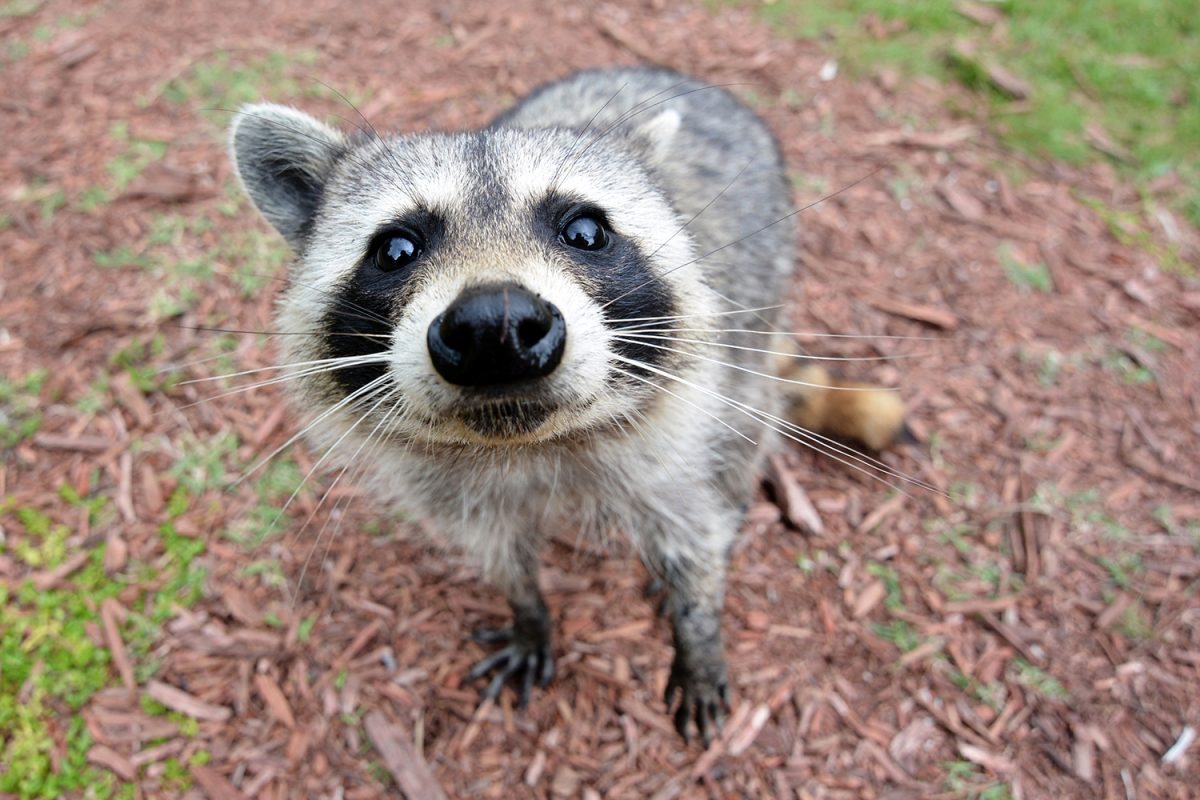 Night of the Raccoon!